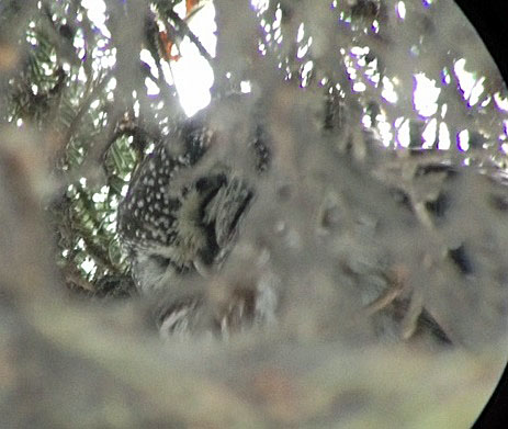 160123 boreal owl 4aA